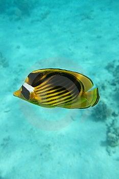 Bluecheek Butterlfyfish Royalty Free Stock Photos - Image: 8614608