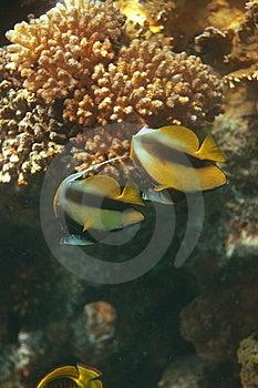 Bannerfish Stock Image - Image: 8614681