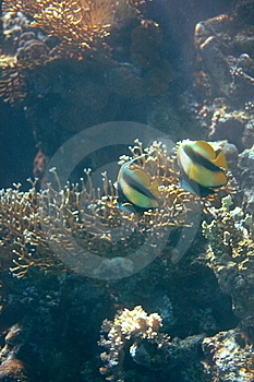 Bannerfish Pair Stock Photos - Image: 8614733