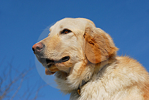 Hovawart Dog Royalty Free Stock Photos - Image: 8614858
