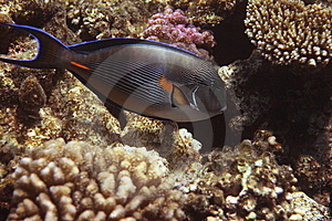 Red Sea Surgeonfish Stock Image - Image: 8615061