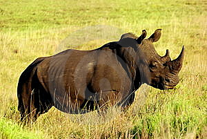 Rhino Royalty Free Stock Photo - Image: 8615765