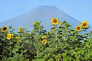 Sunflower VI Stock Photography - Image: 8617072