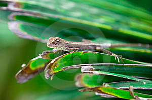 Gecko Hunting Royalty Free Stock Photos - Image: 8618298