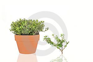 Golden Thyme Herb Stock Photos - Image: 8620153