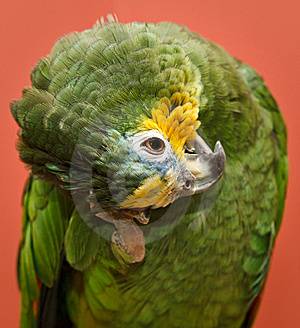 Amazon Parrot Royalty Free Stock Image - Image: 8622556