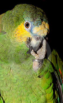 Man And Parrot Stock Image - Image: 8622581