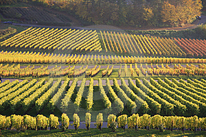 Colorful Vineyard In Autumn Stock Photos - Image: 8623433