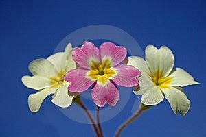 Primroses Stock Image - Image: 8624111