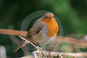 Robin Royalty Free Stock Image - Image: 8624316