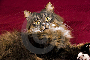 Cat Royalty Free Stock Photography - Image: 8624327