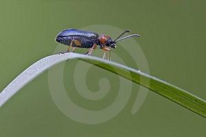 Mettalic Beetle Stock Image - Image: 8626281