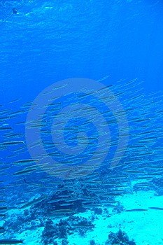 Barracuda Royalty Free Stock Photos - Image: 8628828