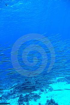 Barracuda Royalty Free Stock Photos - Image: 8628828