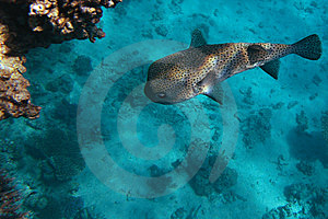 Spot-fin Porcupinefish Royalty Free Stock Image - Image: 8628846