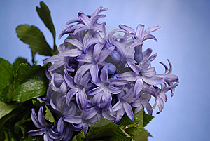 Purple Hyacinth    Stock Photography - Image: 8628922