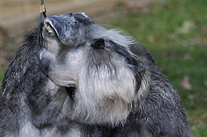 Miniature Schnauzer Stock Images - Image: 8630504