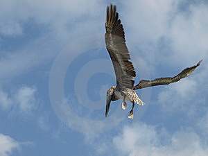 Flying Pelican. Stock Image - Image: 8630621