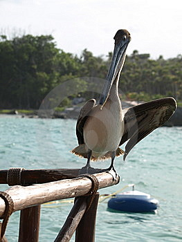 Animated Pelican. Royalty Free Stock Photography - Image: 8630767