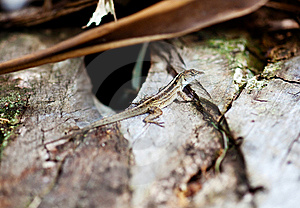 Florida Lizard Stock Photography - Image: 8632342
