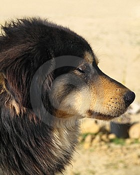 Dog In Profile, Looking Away. Royalty Free Stock Photography - Image: 8632457