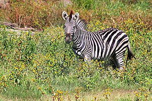 Plains Zebra Stock Images - Image: 8632564