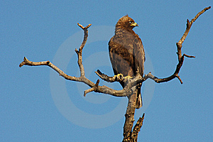 African Eagle Stock Photos - Image: 8632573
