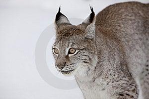 Siberian Lynx Ear Tuffs Stock Images - Image: 8632664