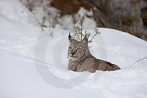 Canadian Lynx In Relaxed Stance Stock Photos - Image: 8632683