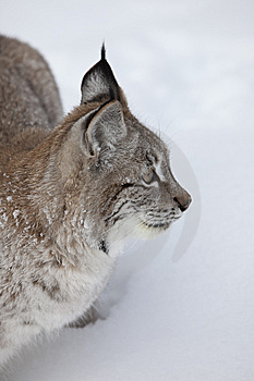 Canadian Lynx Up Close Royalty Free Stock Images - Image: 8632779