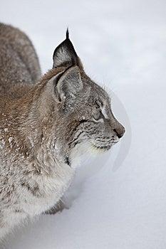 Canadese Omhoog Dichte Lynx Royalty-vrije Stock Afbeeldingen - Afbeelding: 8632779