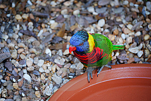 Lorikeet Dish Royalty Free Stock Photo - Image: 8633215