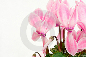 Pink Cyclamen Background Stock Photo - Image: 8635310