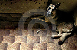 German Shepherd Looking Up Stock Images - Image: 8635404
