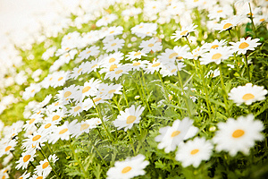 Field Of Daisies Stock Photo - Image: 8635910