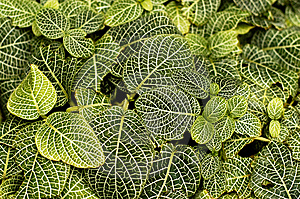Green Striped Leaves Background Royalty Free Stock Photo - Image: 8636775