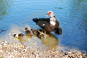Ducks And Family Royalty Free Stock Images - Image: 8637179