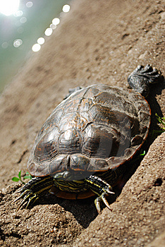 Turtle In The Sun Stock Image - Image: 8637251