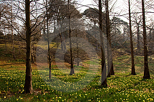 Spring Forest With Daffodil Flowers Royalty Free Stock Images - Image: 8639659