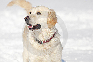 Golden Retriever Royalty Free Stock Photography - Image: 8640707