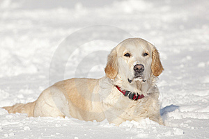 Golden Retriever Royalty-vrije Stock Foto's - Beeld: 8640778