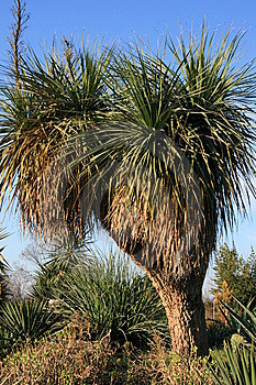 Yucca Tree Royalty Free Stock Photos - Image: 8642548