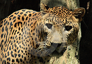 Wild Thing Royalty Free Stock Photo - Image: 8643995