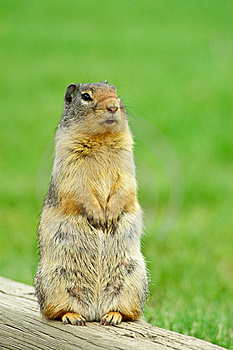 Alert Ground Squirrel Stock Images - Image: 8645224