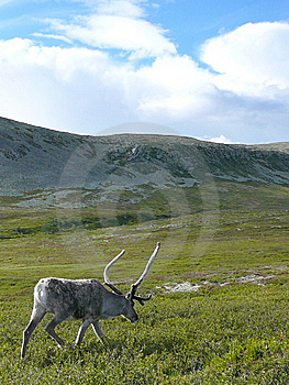Reindeer Walking Royalty Free Stock Photo - Image: 8645295