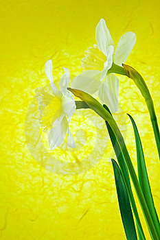 Two White Jonquils On A Yellow Background Royalty Free Stock Photo - Image: 8647585
