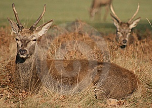Red Deer In Richmond Park Royalty Free Stock Photography - Image: 8647797