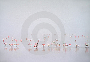 Flamingo's In Mist In Laguna Colorada, Bolivië Royalty-vrije Stock Foto - Afbeelding: 8648165