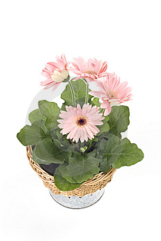Beautiful Pink Gerbera In A Pot Royalty Free Stock Image - Image: 8649846