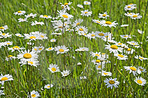 Chamomile Field Royalty Free Stock Photography - Image: 8650447